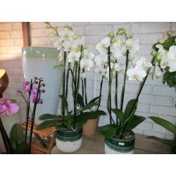 Orchidées 2 tiges