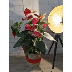 Anthurium couleur rouge